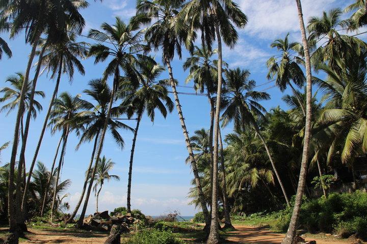 Kokosnussernte an Seilen in luftiger Höhe
