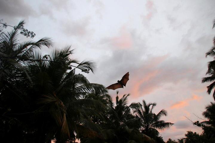 Flughund in unserem Hotel Garten