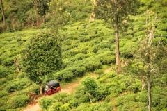 Teeplantagen in Ella
