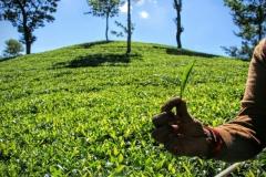 Teeplantage Pedro Tea Estate Nuwara Eliya