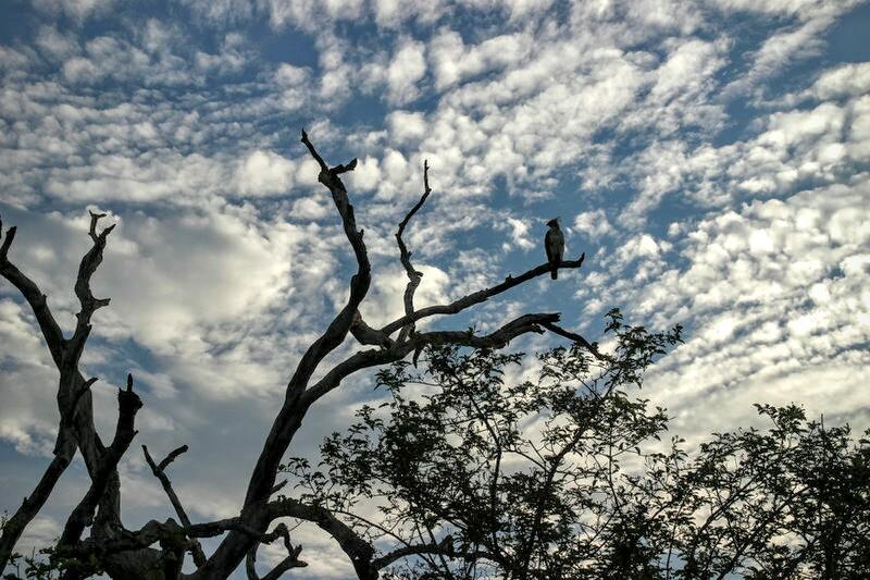 Adler im Yala National Park
