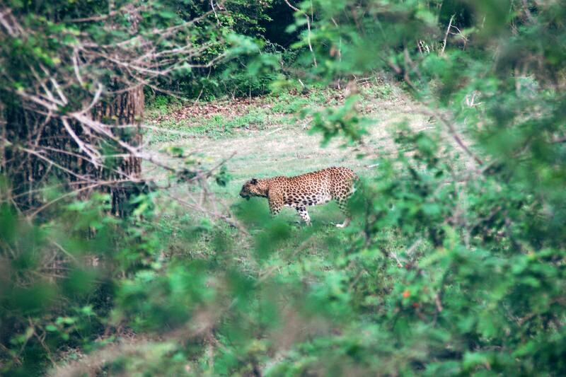 Leopard im Yala National Park