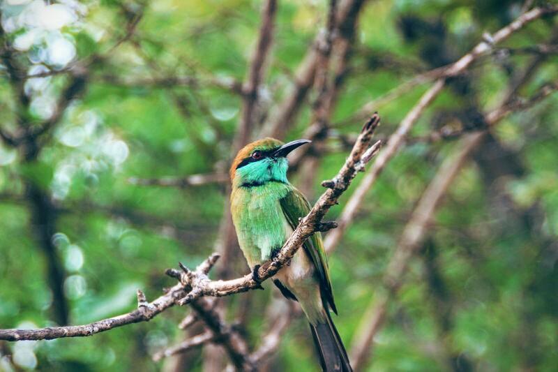 Bee-eater im Yala National Park