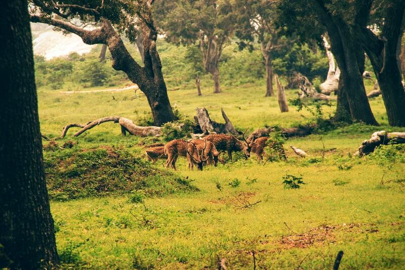 Hirsche im Yala National Park